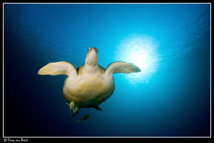 Green Turtle. first entry of 2010 by Dray Van Beeck