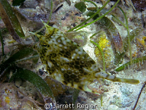 Cowfish by Jarrett Regier