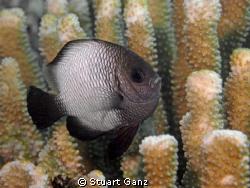 Domino Damsel Fish by Stuart Ganz