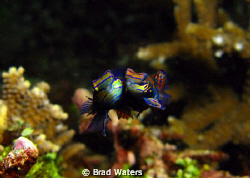 Finally.... A picture of mating Mandarin fish. Taken on a... by Brad Waters