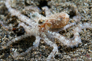 Tiny octopus at night in Bali. Not sure what kind - not a... by Andy Lerner