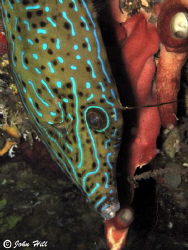 Adult File fish coming down a reef wall in Bunaken. by John Hill