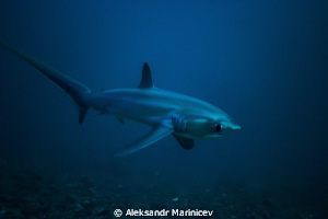 Magnificant Thresher Shark.