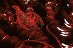 Shrimp in comatule, PNG. Ikelite N90, 105mm macro lens. by Francois Zylberman