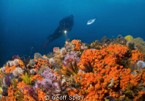 the rich life on Batsata reef, False bay, Cape Town by Geoff Spiby