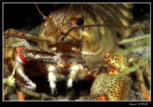 Noble cray fish detail by Daniel Strub