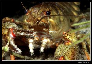 Noble cray fish detail by Daniel Strub