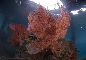 Sea fans under KBR jetty. D200, 10.5mm. by Derek Haslam