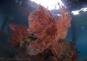 Sea fans under KBR jetty. D200, 10.5mm. by Derek Haslam