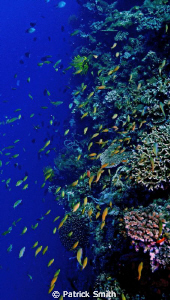 Wide shot on the wall off of Apo Island , Phillipines. by Patrick Smith