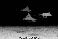 group of eagle rays, december you can see up to 30 of the... by Javier Sandoval