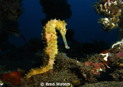 A thorny sea horse. Taken on a Canon G9 by Brad Waters