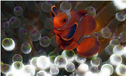Clown fish by Sergiy Glushchenko