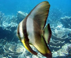 """Batfish"", Ningaloo Reef by Penny Murphy"
