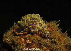 Blue Ringed Octopus. I was happy floating with this littl... by Brad Waters