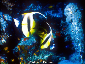 2 butterflyfish and softcoral by Alberto Romeo