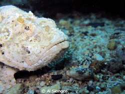 white stonefish by Al Siongco