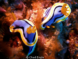 A colorful pair of nudi's. by Chad Engle