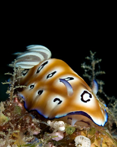"""Chromodoris leopardus"" by Henry Jager"