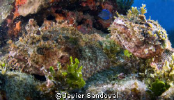 two scorpionfish mating in Cancun by Javier Sandoval