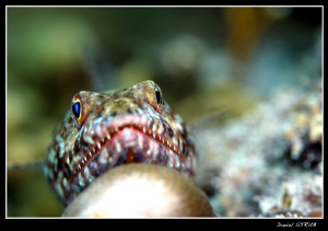 Lizard fish resting ... by Daniel Strub