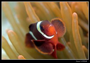 spine-cheek clown fish ... by Daniel Strub