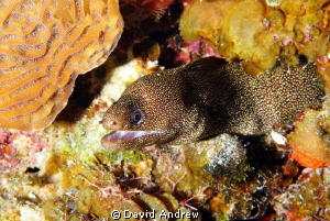 Goldentail Moray (Gymnothorax miliaris) at the Columbia S... by David Andrew