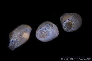 """The Singing Ascidians"" by Debi Henshaw"