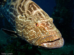 A friendly grouper giving me the evil eye. by Toby Lynch
