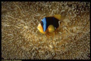Clownfish & anemone, Tanzania. Ikelite N8008, 60mm Macro ... by François Zylberman
