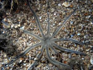 10-armed sea star-rare??