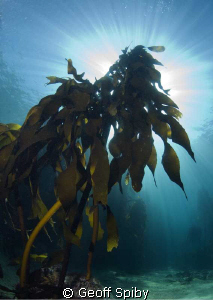 snorkelling in the kelp, Cape Town by Geoff Spiby