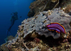flatworm on the wall at Balicasag Island, philippines by Geoff Spiby