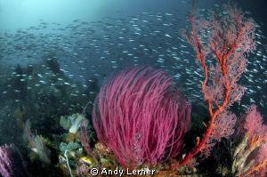Raja Ampat reef scene by Andy Lerner
