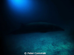 This is a picture of a beaked whale that was in Majuro La... by Peter Cammish