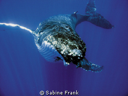 Humpback calf gliding by Sabine Frank