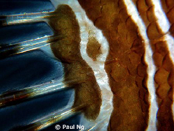 close up in between lion fish body and tail. Taken with p... by Paul Ng