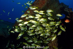 Shoal of fish in the wreck Servemar, Recife, Brazil. by Edson Acioli
