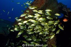 Shoal of fish in the wreck Servemar, Recife, Brazil. by Edson Acioli