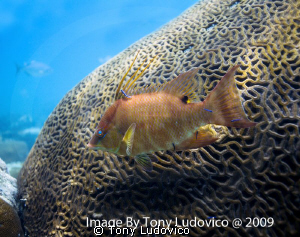 Hogfish by Tony Ludovico