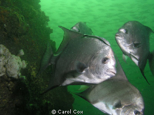 Spadefish at the Air Force Tower site off of Cape San Bla... by Carol Cox