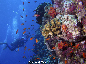 My husband taking photos in the Red Sea. by Carol Cox