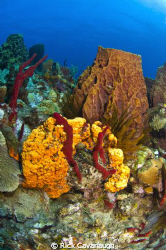 Reef scene in Dominica by Rick Cavanaugh