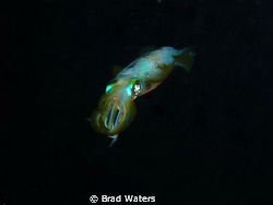 A squid swims away in to the dark... by Brad Waters