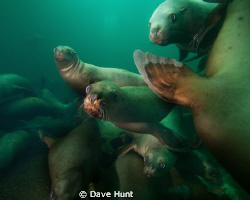 The Class Clowns - sea lions near Hornby Island BC Canada by Dave Hunt