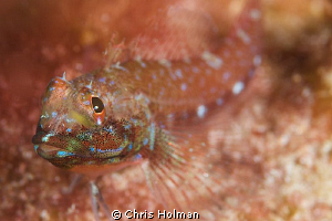 Macro of a Bleny Nikon D80 with a 105mm by Chris Holman