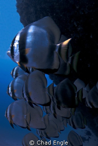A School of curious Bat Fish hanging out at the stern of ... by Chad Engle