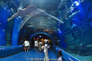Big sawfish  in Tokyo aquarium  by Alberto Romeo