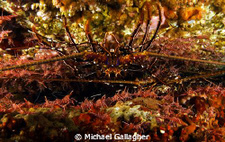 Lobster surrounded by hundreds of durban shrimp by Michael Gallagher