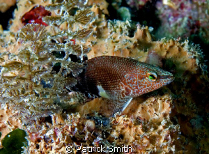 This is a Belted Sandfish taken on Mammoth Rock Reef, in ... by Patrick Smith